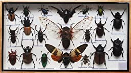 REAL 3 CICADA AND MIXS INSECT TAXIDERMY SET IN BOXES DISPLAY FOR COLLECTIBLES
