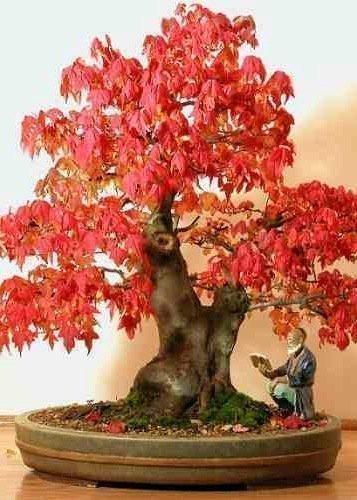 tropica-lot-de-20-graines-de-bonsai-erable-rouge-acer-rubrum