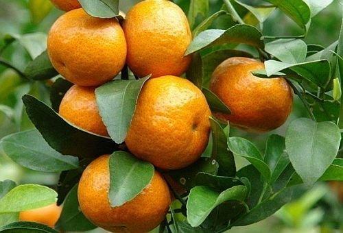 citrus-reticulata-mandarin-tree-5-seeds