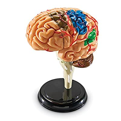 Learning Resources Model Brain Anatomy by LEARNING RESOURCES