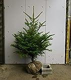 群馬県産 モミノキ 樹高0.9~1.1m 本物のクリスマスツリー 生産者直売 もみの木 モミの木