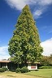 Urweltmammutbaum 100 Samen