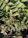 Staudenkulturen Wauschkuhn Athyrium nipponicum 'Metallicum' - Regenbogenfarn - Farn im