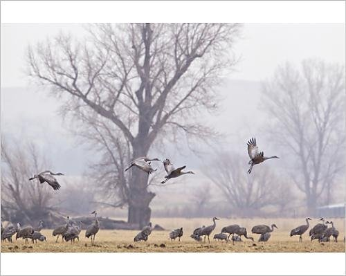 Sandhill cranes feeding in fields near North Platte, Nebraska