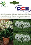 (031) 5 Agapanthus Africanus Seeds ,Beautiful, Home Garden flower,easy care and drought tolerant White Color