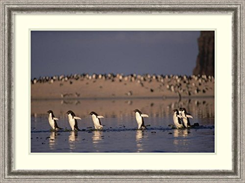 framed-art-print-adelie-penguin-group-commuting-cape-adare-ross-sea-antarctica-by-tui-de-roy