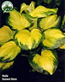 Amazon / Hirts: Hosta: Stained Glass Hosta - HOSTA of the YEAR 2006! - Gallon Pot