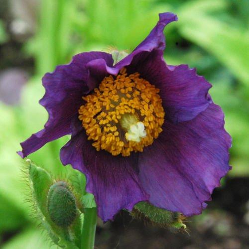 meconopsis-hansol-violet-30-samen-mohn-samen