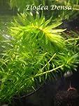 elodea densa Pond Plants Oxygenating...