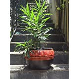 The Garden Store Ceramic Big Planter - Black