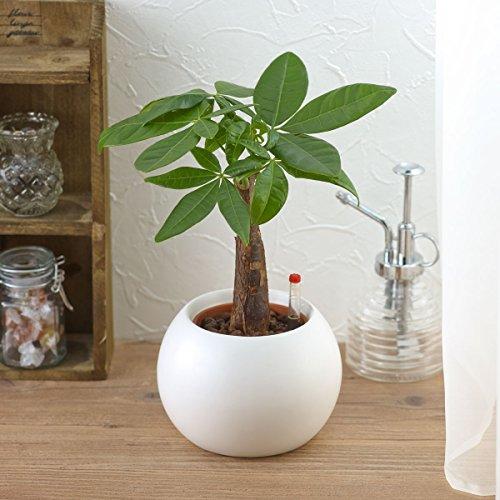 【日比谷花壇|観葉植物】お手入れかんたん観葉植物「パキラ(ホワイト)」