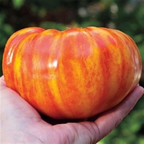 big-rainbow-heritage-heirloom-yellow-red-striped-huge-meaty-beefsteak-tomato-seeds-certified-french-