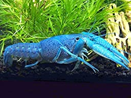 1 Male/Female Pair of Electric Blue Crayfish/Freshwater Lobsters (2-3 inch Young Adults) by Aquatic Arts