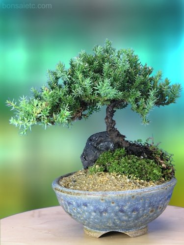 A 4 to 5 Year Old Juniper Bonsai Tree in Japanese Setku Bowl
