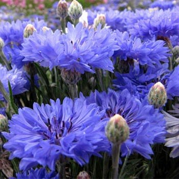 bachelor-button-cornflower-centaurea-cyanus-blue-beautiful-sky-blue-drought-tolerant-flower-attracts