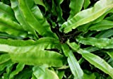 Staudenkulturen Wauschkuhn Phyllitis scolopendrium - Hirschzungenfarn - Farn im 9cm