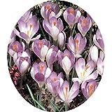 Saffron Bulbs, Netherlands Crocus Sativus Flower Rare Plant Bonsai Flower Flowering Plants Bulbs Fresh (it Is...