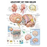 Anatomy of the Brain Anatomical Chart Plastic