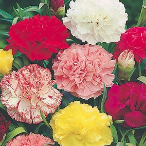 carnation-giant-chabaud-super-claudia-mixed-100-seeds