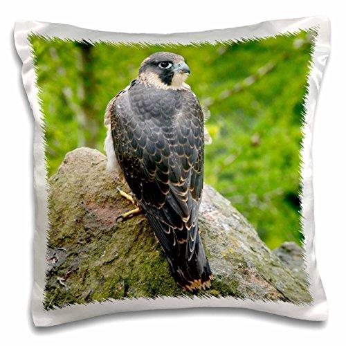 danita-delimont-birds-wildlife-peregrine-falcon-bird-on-rock-eu33-dsl0041-david-slater-16x16-inch-pi