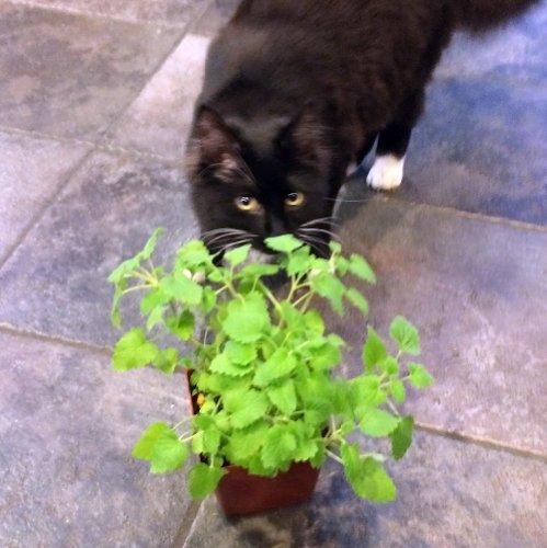 """Catnip Plant - Nepeta - INSIDE OR OUTSIDE - 4"""" pot"""