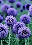 GLOBE THISTLE BUTTERFLY FLOWER &#8211; 25 SEEDS