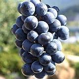 ピオーネ ぶどうの本場 甲州 山梨から旬の美味しさ産地直送お取り寄せピオーネぶどう2キロ ランキングお取り寄せ