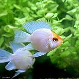 (熱帯魚)ゴールデンバルーンブルーダイヤモンド・ラミレジィ(3匹) 本州・四国限定[生体]
