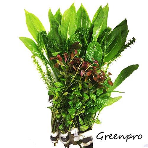 Freshwater Aquarium Plants Package Value Pack 4 Species Amazon Sword Anacharis Java Fern Ludwigia By Greenpro (Aquarium Plants Package compare prices)