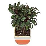 Exotic Green Indoor Plant Cordyline in My Orange Pot