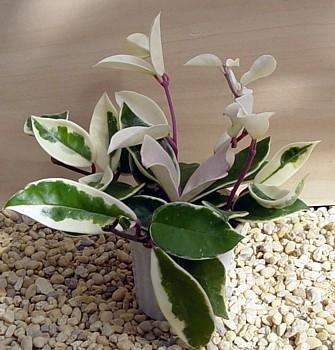 Wax Plant