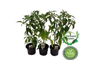 peperoni pflanze