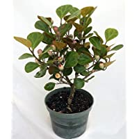 Mistletoe Fig Tree - Mas Cotek - Ficus - Bonsai or House Plant-6