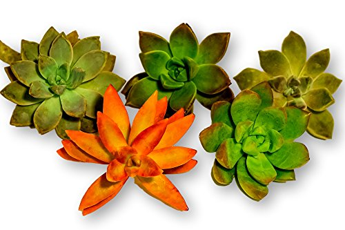 Fat Plants San Diego Five Large Rosettes Succulent Cuttings