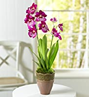 Seasonal Miltonia Orchid