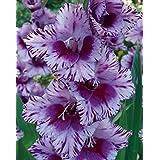 (10) Extra Large Bulbs Spectacular Large Flowering Bullbs Gladiolus Purple, Lavender & White Passos Gladioli,Sword Lily Plant, Start, Root