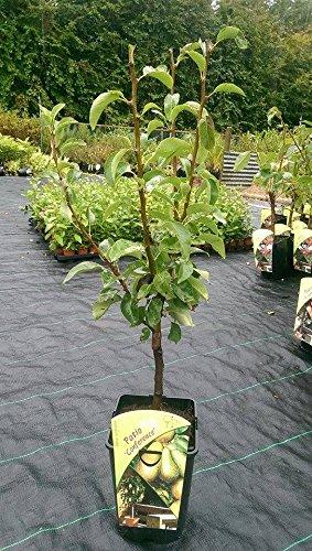 Dwarf Patio Conference Pear Tree, In A 5l Pot, Miniature & Self-fertile