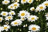 Shasta Daisy (Chrysanthemum maximum) Seed Packet