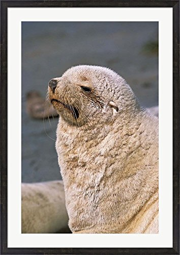 White Seal, South Georgia, Sub-Antarctica by Martin Zwick / Danita Delimont Framed Art Print Wall Picture, Espresso Brown Frame with Hanging Cleat, 31 x 43 inches