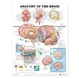 Anatomy of the Brain Anatomical Chart Laminated