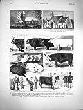 1877 Cerdos Escoceses de las Ovejas de la Raza de la Montaña de la Demostración de Ganado