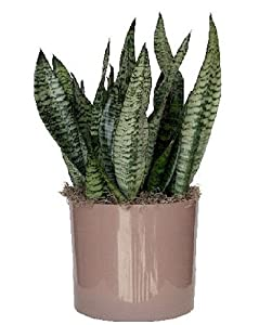 'Robusta' Snake Plant - Sanseveria - Almost Impossible to kill - 4