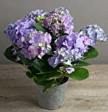 Fresh Flowers Delivered - 35cm Hydrangea Blue Plant Gift in vintage style pot