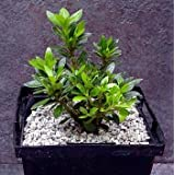 Chinese Dwarf Azalea (True Bonsai Plant) - For Indoors or Out ~ Sheryl's shop