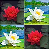 (Combo Of 2 Colors) Floral Treasure WHITE & RED Lotus Seeds - Pack Of 10