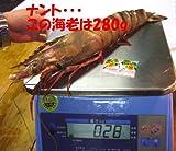 天然超特大冷凍有頭海老シータイガー7-9尾 (1.5kg(7-9尾))