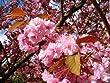 1 Japanese Flowering Cherry / Prunus 'Kanzan' Large Double Deep Pink Flowers