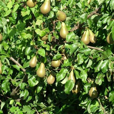 1 X Pear Tree (Conference) 125-150cm Bareroot (A027)