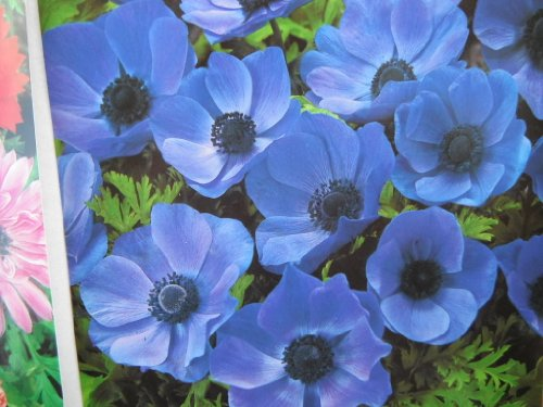 20-BLUE-ANEMONE-MR-FOKKER-CORMS-BULBS-FOR-BORDER-PATIO-ROCKERY-GARDEN-PERENNIAL-PLANT