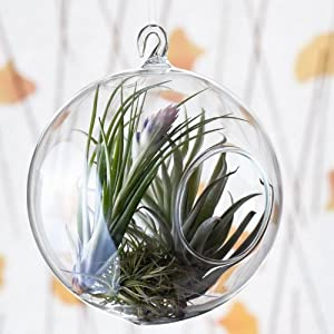 Clear Glass Hanging Terrarium 4 Inch (Plants Not Included)